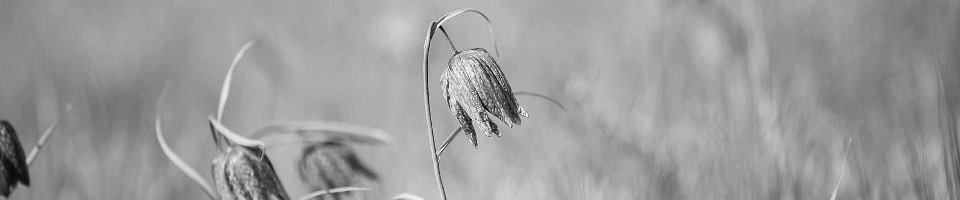 Blomma svartvit